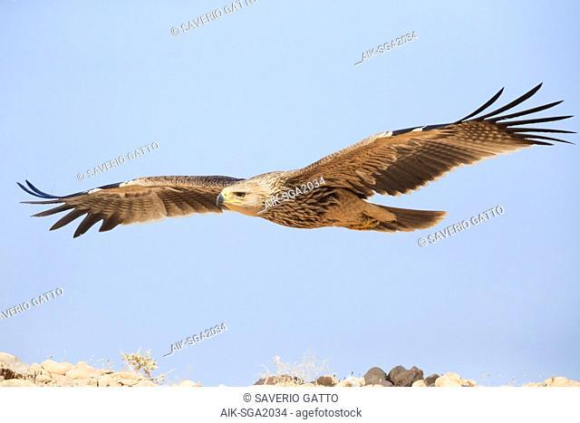 Eastern Imperial Eagle (Aquila heliaca), juvenile in flight