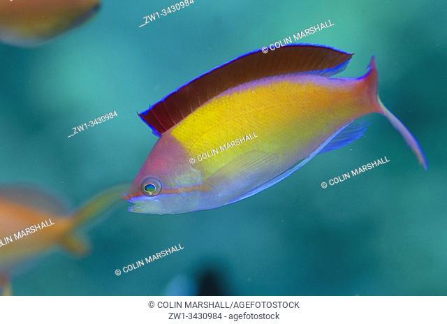 Redfin Anthias (Pseudanthias dispar, Serranidae Family) with fin extended, Bunatan dive site, Amed, Bali, Indonesia, Indian Ocean