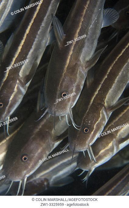 School of Striped Catfish (Plotosus lineatus, Plotosidae family), Jetty dive site, Padangbai, near Candidasa, Bali, Indonesia
