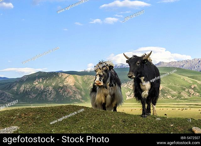 Two yaks in front of the mountains, Naryn Gorge, Naryn Region, Kyrgyzstan, Asia