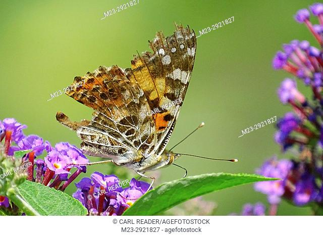 A rear admiral butterfly, Vanessa atalanta, shows the ravages of a life lived in the wild, Pennsylvania, USA
