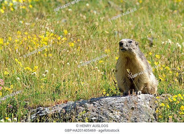 França, Marmota alpina, Marmota Marmota