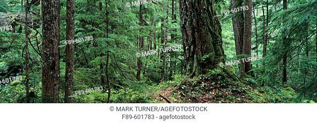 Old growth Douglas-fir (Pseudotsuga menziesii) surrounded by Western Hemlocks. Umpqua National Forest. Oregon. USA