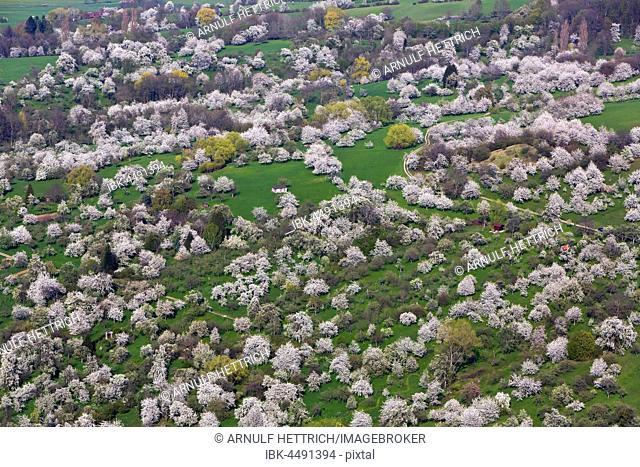 Blooming orchard, fruit trees, Swabian Jura, Weilheim an der Teck, Baden-Württemberg, Germany