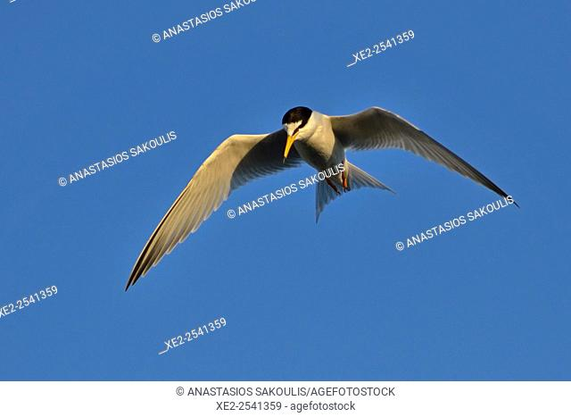 Little Tern - Sterna albifrons, Lesvos, Greece