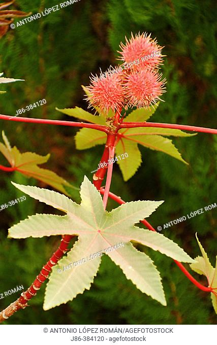 Castor bean plant (Ricinus communis). Inflorescence and leaves