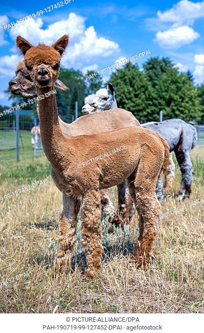 19 June 2019, Brandenburg, Walsleben: Alpacas stand in an extensive enclosure of a breeder. In the north of Brandenburg, a family business breeds the animals