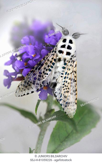 Leopard moth, wood leopard moth ( Zeuzera pyrina) on a flower