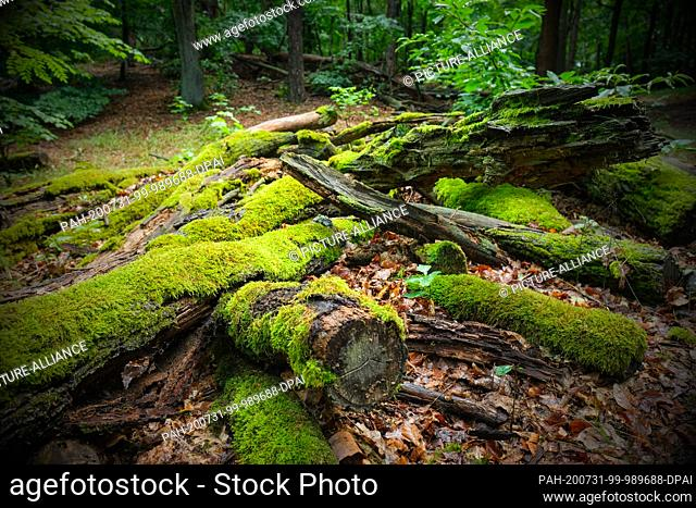 16 July 2020, Berlin: Tree trunks overgrown with moss lie in the Teufelsmoor nature reserve in Köpenick in the Müggelbergen hills on the forest floor covered...