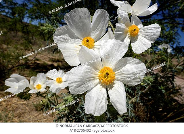 Crested pricklepoppies (Argemone platycerus) grow in the foothills of the Santa Rita Mountains of the Coronado National Forest in the Sonoran Desert north of...
