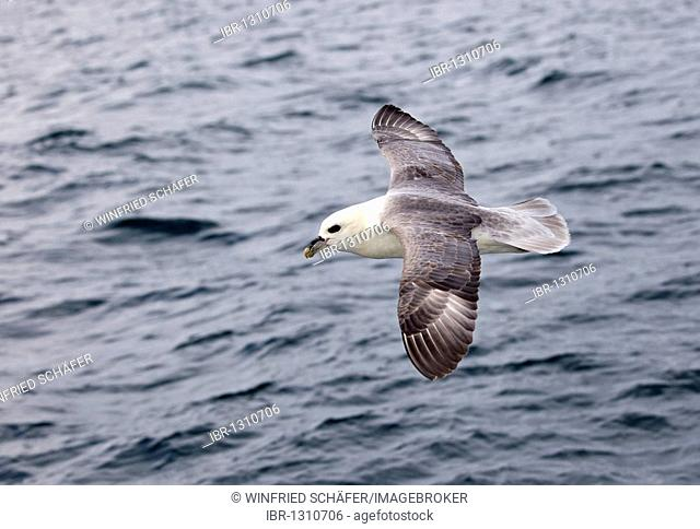 Northern Fulmar (Fulmarus glacialis) sailing in the wind over the sea, Iceland, Europe
