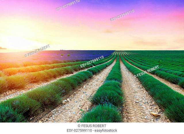 Lavender field harvest near Valensole.Provence.France
