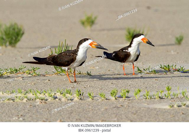 A pair of Black Skimmers (Rynchops niger) on the beach, Texas, USA