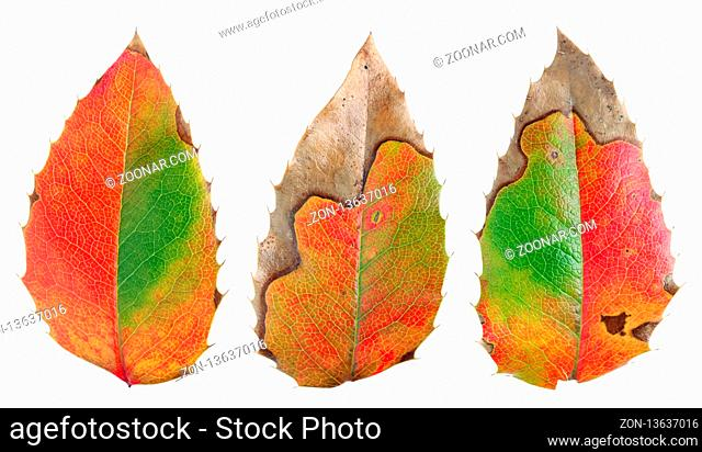 The leaves of Holly are damaged by winter frosts and painted in bright green and red colors. Isolated on white studio macro real