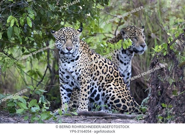 Jaguar (Panthera onca), male and female sitting on riverbank, Pantanal, Mato Grosso, Brazil