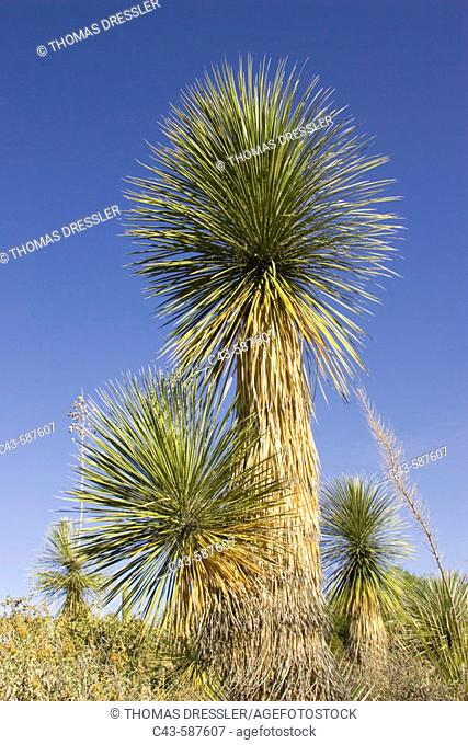Soaptree Yucca (Yucca elata) - Utilized for soap, food and to construct baskets by Native Americans. Photographed in the Arizona-Sonora Desert Museum