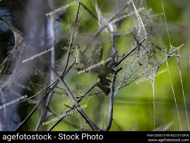 """10 June 2020, Berlin: A silvery shining web hangs from a tree in the zoo. It is the """"""""work"""""""" of the web moths. Their caterpillars eat the leaves from trees and..."""