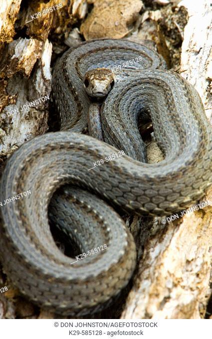 Red-bellied snake (Storeria occipitomaculata). Ontario