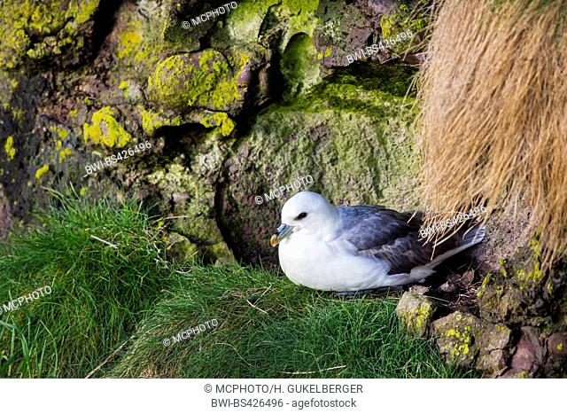 northern fulmar (Fulmarus glacialis), sits on its nest, United Kingdom, Scotland
