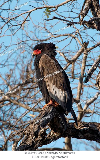 Bateleur (Terathopius ecaudatus), Chobe Riverfront, Chobe National Park, Botswana