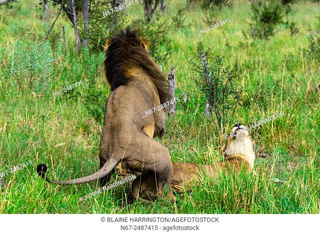Lion and lioness mating, Kwando Concession, Linyanti Marshes, Botswana