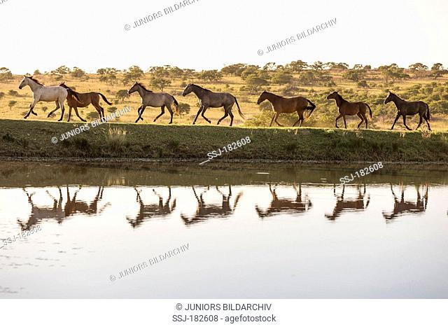 Nooitgedacht Pony. Herd of mares galloping at the waters edge. South Africa