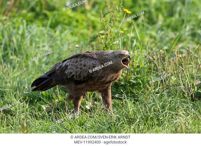 Lesser Spotted Eagle, - adult eagle - Germany