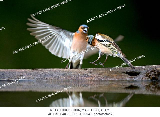Male Common Chaffinch at drinking site, Common Chaffinch, Fringilla coelebs