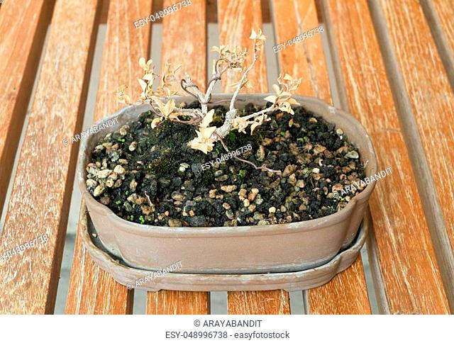 Houseplant, Beautiful Dry Bonsai Tree in A Flowerpot for Garden Decoration