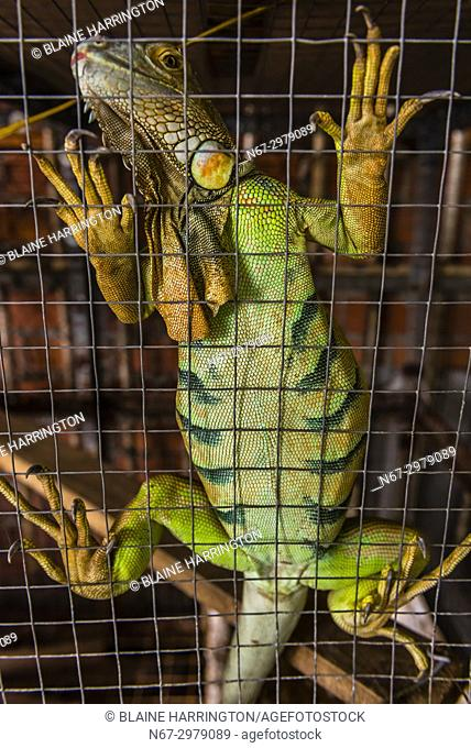 Giant green iguana, in a cage, in a village outside Ho Chi Minh City (Saigon), Vietnam