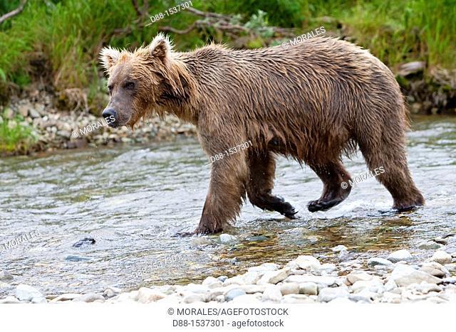 Alaska , Katmai National Park and Preserve , Grizzly bear  Ursus arctos horribilis  , order : carnivora , family : ursidae