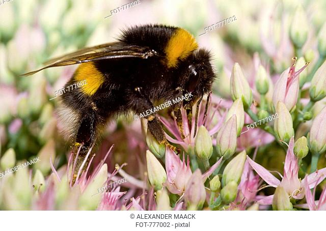 A bumblebee Bombus terrestris perched on a flower