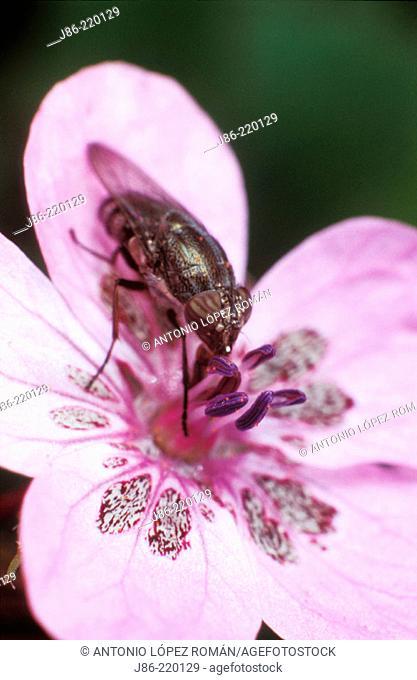 Horsefly on wildflower (Erodium primulaceum)