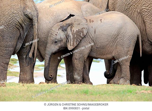 African elephant (Loxodonta africana), young with herd, Addo Elephant National Park, Eastern Cape, South Africa