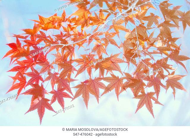 Red maple leaves shot against blue sky (Acer palmatum). Maryland, USA