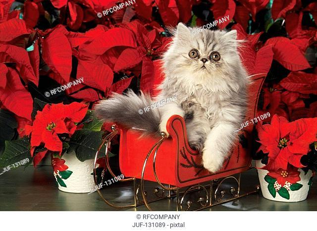 Persian kitten in sledge in front of flowers