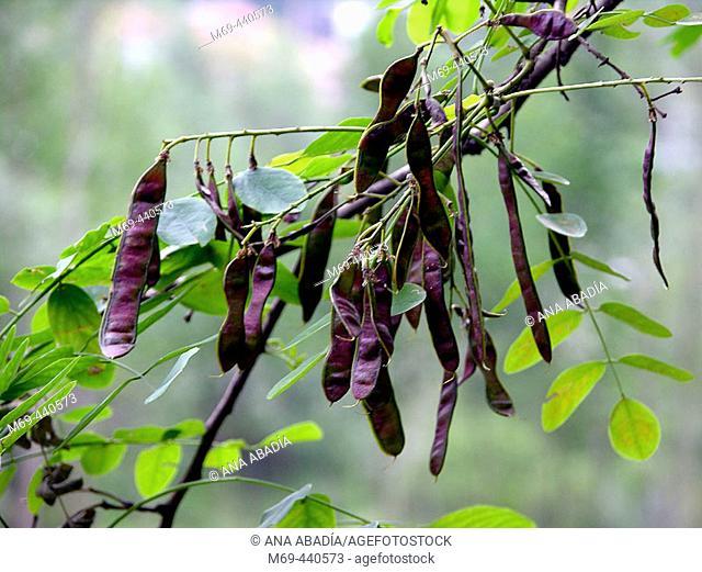 Fruits of acacia