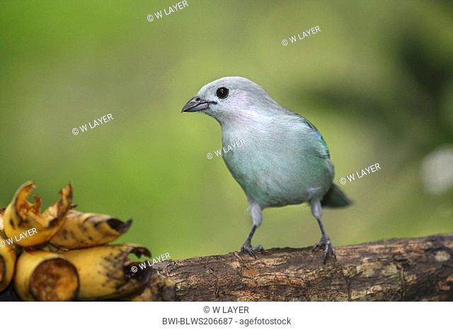 blue-grey tanager Thraupis episcopus, on branch