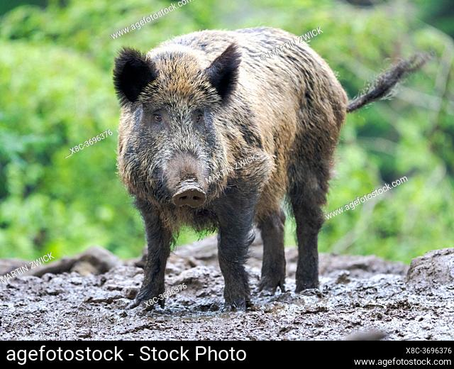 Wild Boar (Sus scrofa) in Forest. National Park Bavarian Forest, enclosure. Europe, Germany, Bavaria