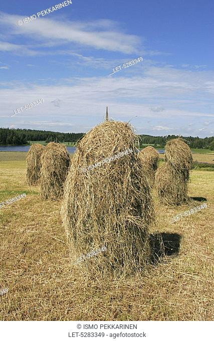 Hay poles in a hay field  Outokumpu, Finland