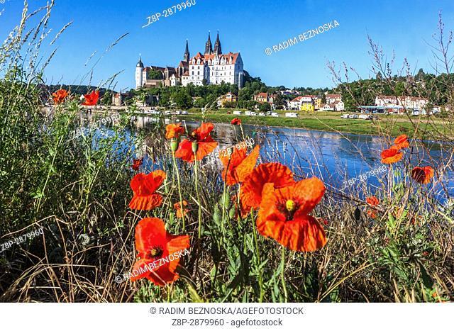 Albrechtsburg Meissen, Albrechtsburg Castle Meissen, Red meadow poppies flowerig on the riverbank of the Elbe, Saxony, Germany, Europe