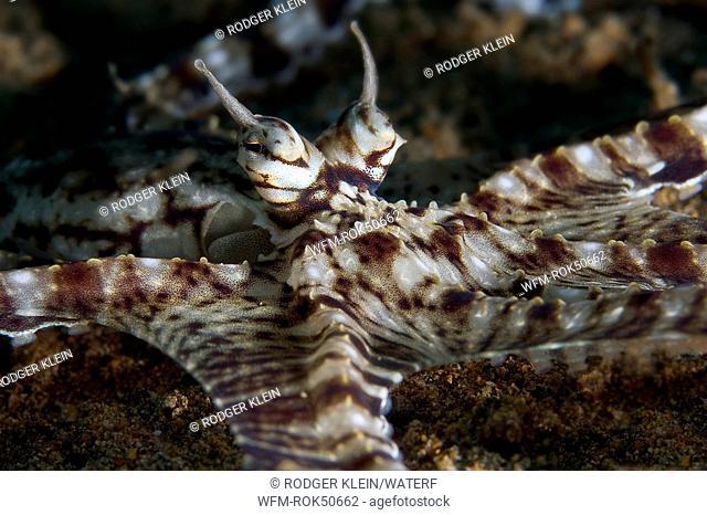 Mimic Octopus, Octopus sp. 19, Anilao, South China Sea, Philippines