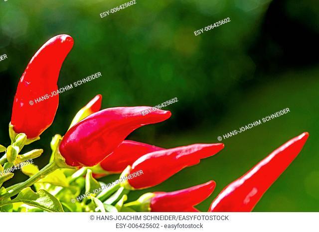 chili at a plant