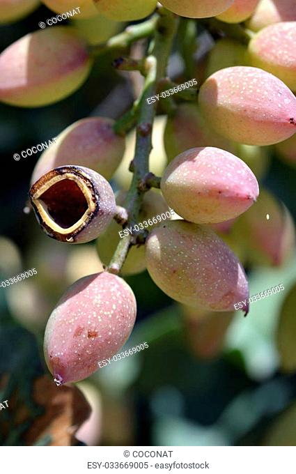 Pistachio nuts on green leaves on the field