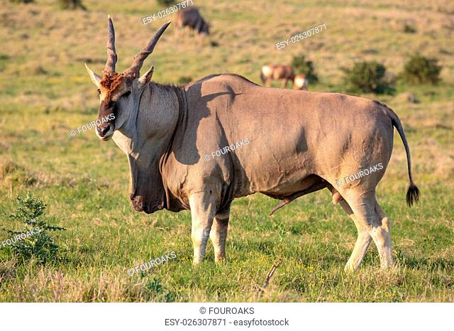 Huge male Eland antelope in breeding condition