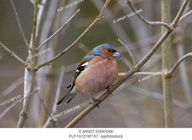 Common chaffinch (Fringilla coelebs) male perched on twig in tree in spring