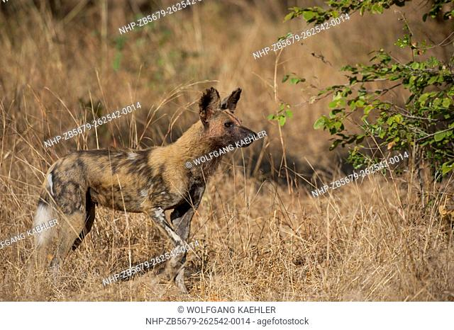 African wild dog (Lycaon pictus) walking through high grass in South Luangwa National Park in eastern Zambia