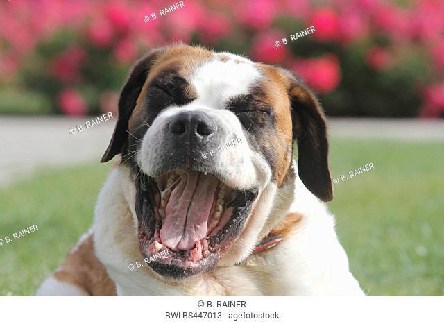 Saint Bernard Dog (Canis lupus f. familiaris), three years old she dog yawning, portrait, Germany