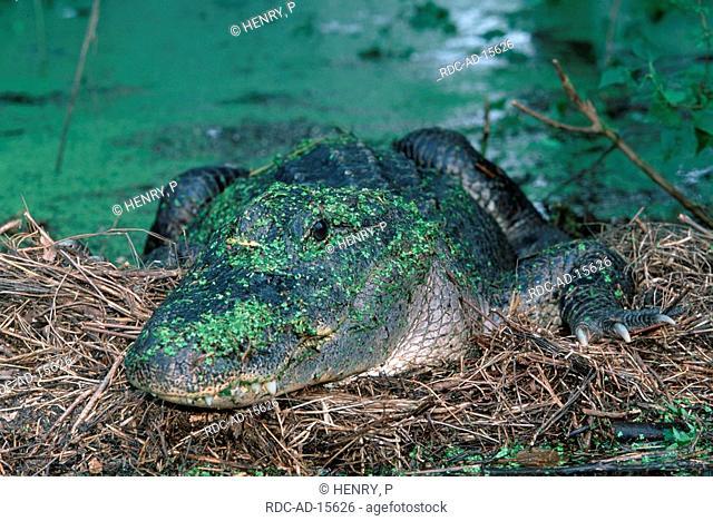 American Alligator female guarding nest Texas USA Alligator mississippiensis