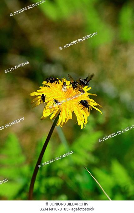 Bristly Hawkbit, Rough Hawkbit (Leontodon hispidus). Flower head with different types of fly, collecting pollen. Germany